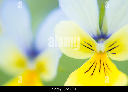 zink violet flowers with blue - Stock Photo