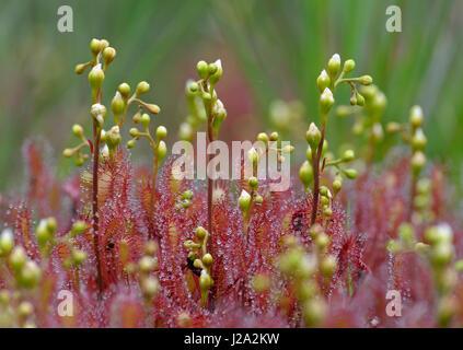 Close-up image of Oblong-leaved Sundew - Stock Photo