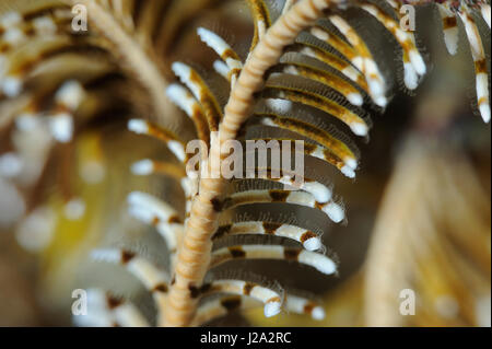 Close up of the arms of a Feather star - Stock Photo