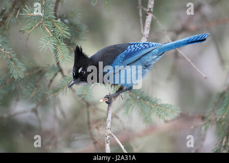 Steller's jay / Diademhaeher ( Cyanocitta stelleri ) in winter, perched in a conifer tree, watching down to the - Stock Photo