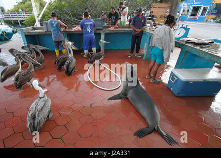 Galapagos sea lion and brown pelicans begging for fish at the port of Puerto Ayora at the island Santa Cruz - Stock Photo