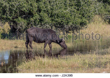 A female Buffalo reflected in still waters at the edge of the Chobe River in the Chobe National Park.