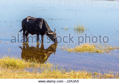 A female Buffalo reflected in still waters at the edge of the Chobe River in the Chobe National Park. - Stock Photo