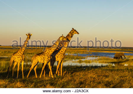 A group of Giraffe walk alongside the Chobe River in the setting sun, whilst an Elephant and Calf graze nearby. - Stock Photo