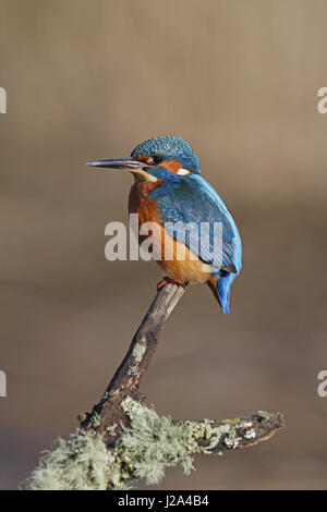 Common Kingfisher, Alcedo atthis, on mossy fishing perch - Stock Photo