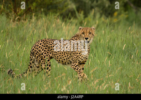 Cheetah (Acinonyx jubatus) in Pilanesberg National Park, North West province, South Africa - Stock Photo
