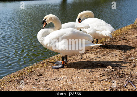 A pair of Mute Swans (Cygnus olor) preening next to the River Great Ouse on the Embankment, Bedford, UK. - Stock Photo
