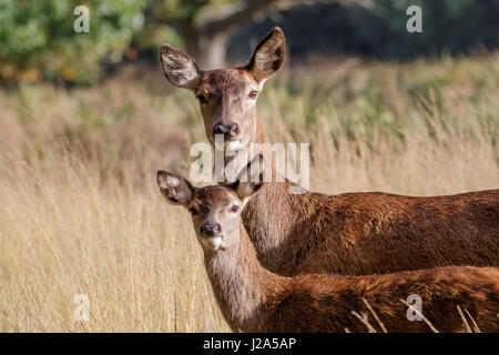 Red Deer female hind mum mother and young baby calf (Cervus elaphus) - Stock Photo