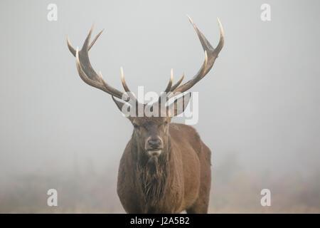 One-eyed Red Deer stag portrait (Cervus elaphus) head on. Misty morning - Stock Photo
