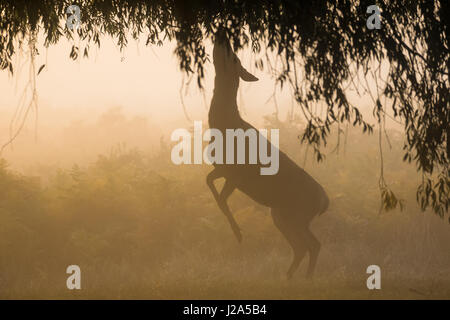 Red Deer (Cervus elaphus)  hind browsing or feeding on willow leaves on a misty morning - Stock Photo