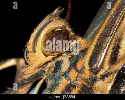 Extreme close up of the head of a South American Yellow edged Giant Owl butterfly (Caligo atreus). - Stock Photo