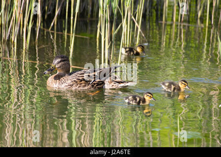 Female mallard duck swimming on lake with reeds in the background with young ducklings - Stock Photo