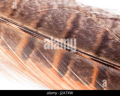 close up of pheasant feather detail and colour on white background in light orange - Stock Photo