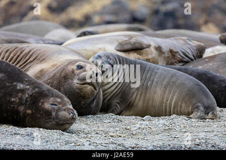 South Georgia Island, Moltke Harbor. Elephant seals rest on beach. Credit as Josh Anon / Jaynes Gallery / DanitaDelimont.com - Stock Photo