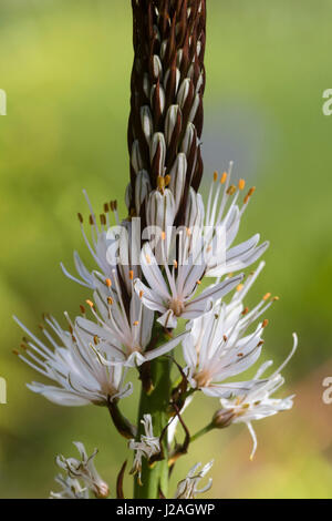 Brown lined white flowers open progresively up the flower spike of the early summer blooming white Asphodel,  Asphodelus - Stock Photo