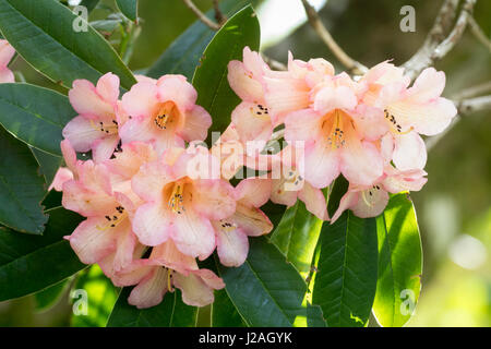 Coral pink form of the spring flowering evergreen, Rhododendron cinnabarinum - Stock Photo