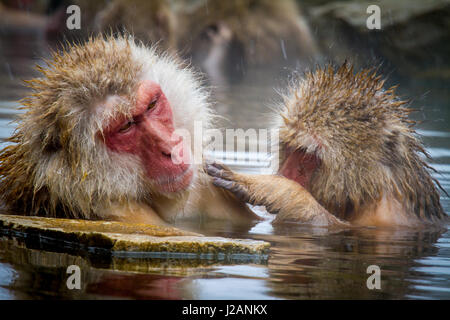 Two macaque snow monkey monkeys grooming in a hot spring near Yudanaka, Japan. - Stock Photo