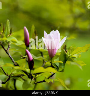 Purple blooming magnolia flower buds on the branch with young leaves in botanical garden - Stock Photo