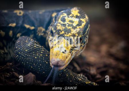 Close-up of a Yellow-headed water monitor (Varanus cumingi). - Stock Photo