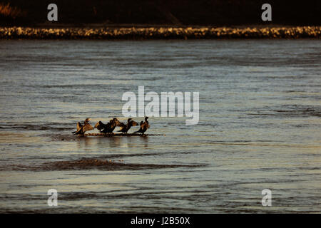 Kormorane beim Sonnenbad - Stock Photo