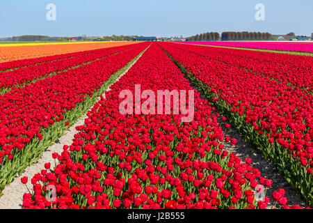 Flowering tulip fields on a sunny day in Holland with mainly red, orange and pink tulips. - Stock Photo