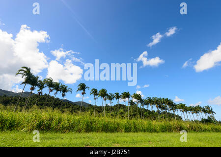 Row of Palmtrees near the rural town of Babinda, Far North Queensland, QLD, Australia - Stock Photo