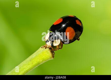 Asian ladybeetle (Harmonia axyridis), Switzerland - Stock Photo