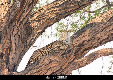 Botswana. Okavango Delta. Khwai concession. Female leopard (Panthera pardus) resting high in a tree. - Stock Photo