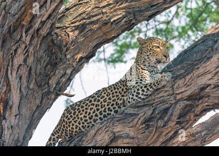 Botswana. Okavango Delta. Khwai concession. Female leopard (Panthera pardus) high in a tree. - Stock Photo