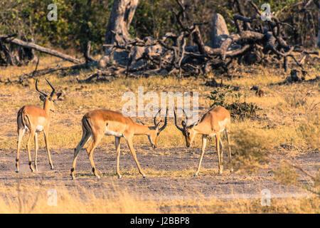 Botswana. Okavango Delta. Khwai concession. Impala (Aepyceros melampus) sparring. - Stock Photo