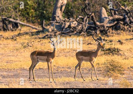 Botswana. Okavango Delta. Khwai Concession. Impala (Aepyceros melampus) - Stock Photo