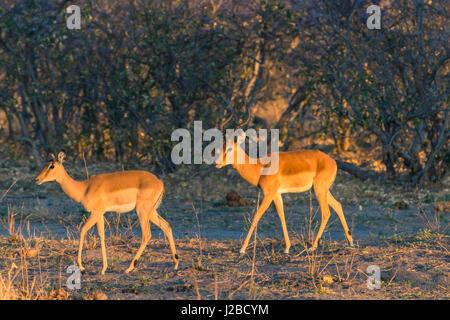 Botswana. Okavango Delta. Khwai Concession. Impala (Aepyceros melampus) at dawn. - Stock Photo