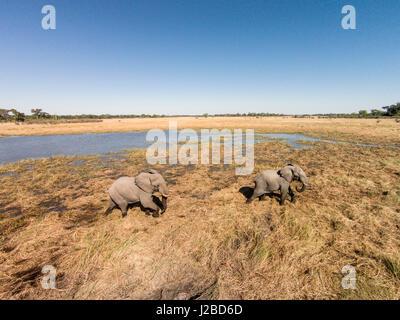 Africa, Botswana, Moremi Game Reserve, Aerial view of Elephants (Loxodonta Africana) walking in wetlands in Okavango - Stock Photo