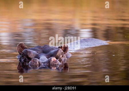 Africa, Botswana, Moremi Game Reserve, Hippopotamus (Hippopotamus amphibius) swimming in Khwai River in Okavango - Stock Photo