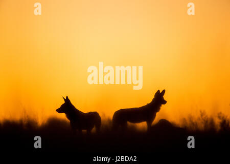 Africa, Botswana, Moremi Game Reserve, Two African wild dog (Lycaon pictus) standing in silhouette in tall grass - Stock Photo
