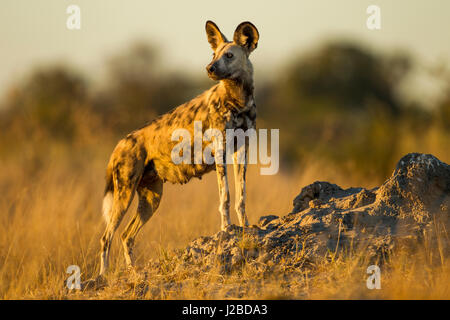 Africa, Botswana, Moremi Game Reserve, African wild dog (Lycaon pictus) standing in tall grass in Okavango Delta - Stock Photo