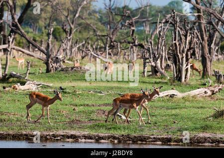 Impala (Aepyceros melampus), Khwai Concession Area, Okavango Delta, Botswana. - Stock Photo