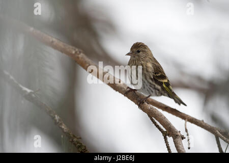 Pine siskin / Fichtenzeisig ( Spinus pinus ) in winter, perched in a conifer tree, in natural surrounding, Yellowstone - Stock Photo