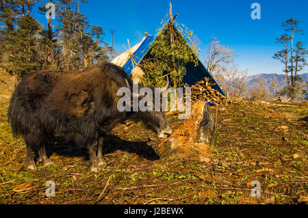 Ox in front of mountain landscape, Pele La Pass, Bhutan - Stock Photo