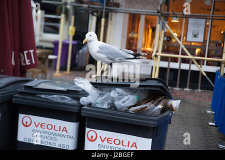 Seagull perched on bins on East Street in Brighton. - Stock Photo
