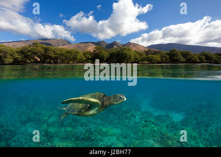 Green sea turtle swims over coral at Olowalu, Maui with the West Maui Mountains in the distance. - Stock Photo