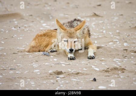 Walvis Bay, Namibia. Black-backed Jackal rests on beach with broken sea shells. - Stock Photo