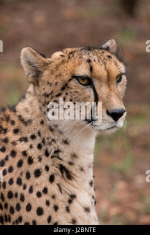 South Africa, Pretoria, Ann van Dyk Cheetah Center. Cheetah (Captive, on endangered list, Acinonyx jubatus) - Stock Photo