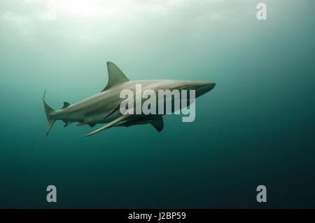 Oceanic Black-tip shark (Carcharhinus limbatus) and Remora, shark dive, Umkomaas, KwaZulu-Natal, South Africa - Stock Photo