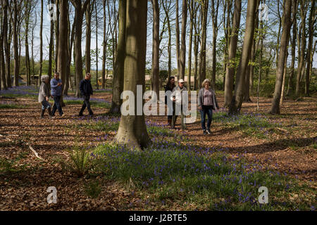 A family walks through Bluebell woods, on 23rd April 2017, in Wrington, North Somerset, England. - Stock Photo