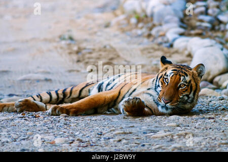 Royal Bengal Tiger (male) on the riverbed of Ramganga river, Corbett National Park, India. - Stock Photo