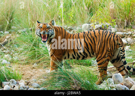 Royal Bengal Tiger (male) snarling, on the riverbed of Ramganga river, Corbett National Park, India. - Stock Photo