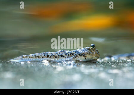 Asia, Indonesia. Silverline Mudskipper (Periophthalmus argentilineatus) in mangrove swamp. - Stock Photo