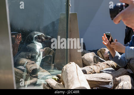Detail portrait of a penguin. Penguin in the zoo behind the glass wall, penguin shooting. - Stock Photo