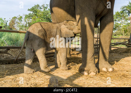 An elephant (Elephas maximus indicus) mother is breastfeeding her baby in a stable in the Elephant Breeding Centre - Stock Photo